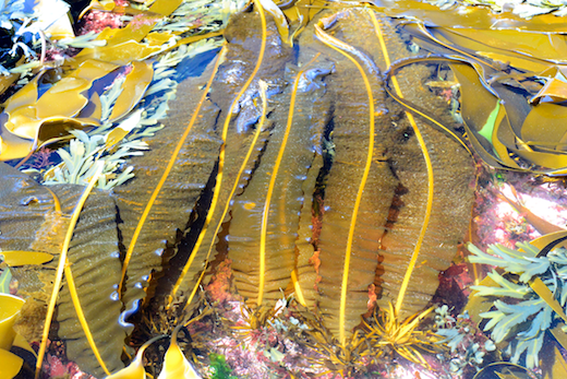 Plants with olive or yellow-brown fronds to 4 m long and 25 cm wide, more often about 1 m and 7.5 cm wide. Generally growing on rock in wave-exposed places, often forming a band at low water and in the shallow subtidal, but also occurring in tidal pools in the lower shore. Photographs  by M.D. Guiry
