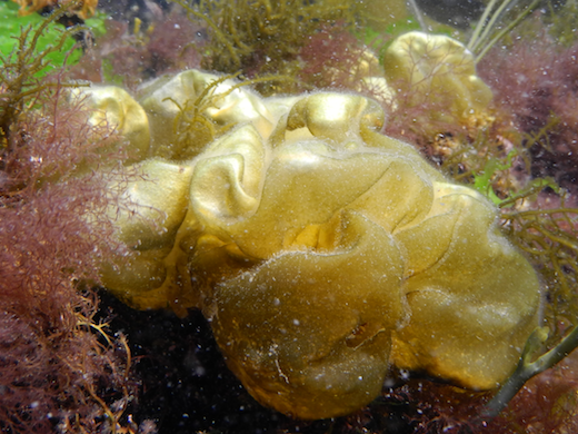 Plants baloon-like when young, becoming contorted and collapsed with age, brown when young to yellow-brown when older, to 250 mm. Generally growing epiphytically on Corallina officinalis and other algae, and on mussels and oysters. Photographs by  M.D. Guiry